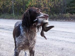 bird-dog-retrieving-a-bird