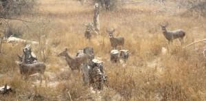 deer-feeding-before-a-storm