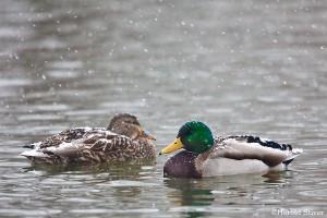 mallard-duck-pair