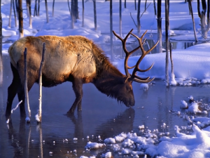 bull-elk-in-winter
