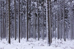 conifer-forest-covered-in-snow