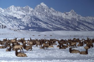elk-in-winter-range