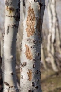 elk-teeth-marks-on-aspen-trees
