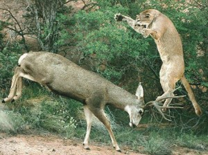 mountain-lion-attacking-a-mule-deer