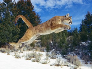 mountain-lion-jumping