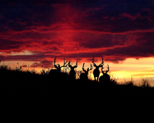 mule-deer-at-sunrise