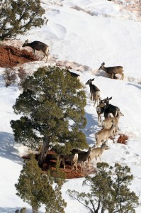 mule-deer-feedin-in-winter