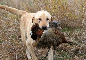 yellow-lab-with-pheasant