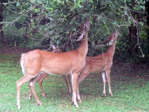 deer-eating-browse