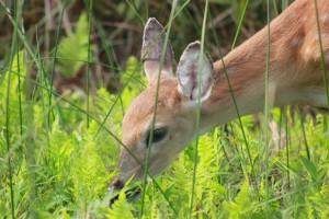 Doe-deer-grazing