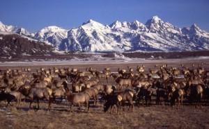 elk-herd