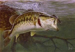 largemout-bass