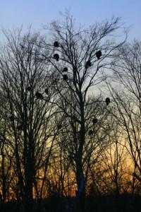wild-turkeys-roosting-in-a-tree