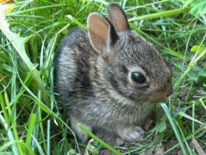 baby-rabbit