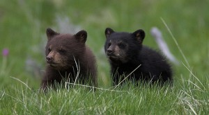 Black-bear-cubs