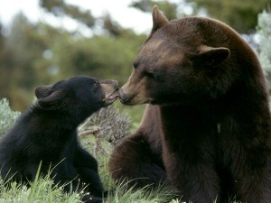 black-bear-and-her-cub