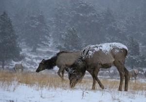 elk-in-spring-snow