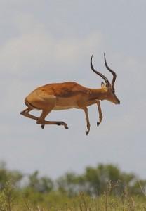 jumping-impala
