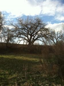 cottonwood-tree-at-eagle-watch-lake