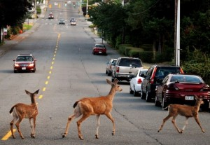 deer-in-the-street