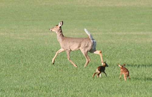 doe-and-twin-fawns