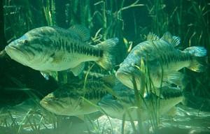 largemouth-bass-staging