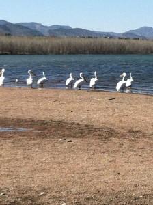 pelicans-on-a-sandbar