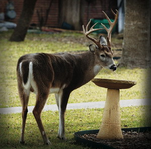 buck-in-the-back-yard