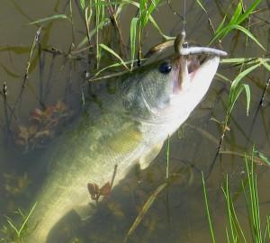 largemouth-bass-on-a-worm