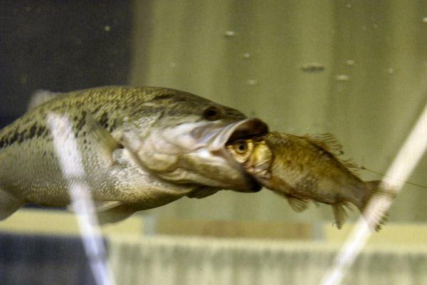 largemouth-bass-attacking-prey