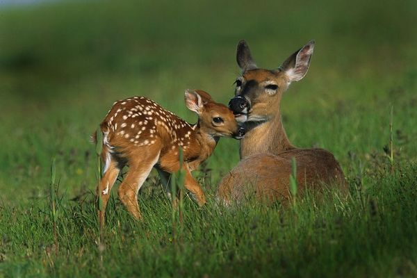doe-and-fawn-in-early-summer