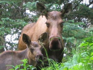 cow-moose-and-calf