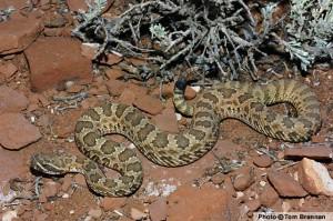 prarie-rattlesnake
