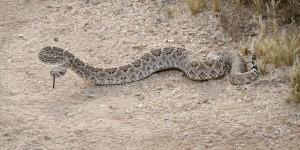 rattlesnake-ready-to-strike