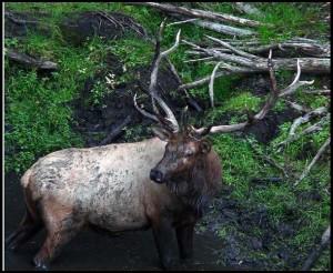 bull-elk-in-a-wallow