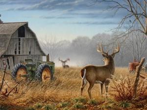 whitetail-bucks