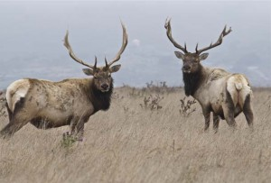 bull-elk-after-the-rut