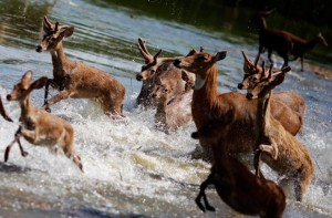 Deer-in-a-flood