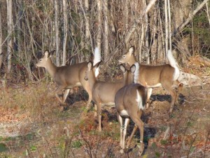 Whitetail Does
