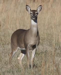 whitetail-doe