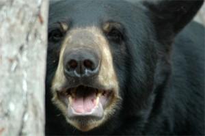 black-bear-up-close