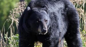 hungry-black-bear