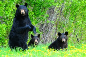black-bear-sow-and-cubs