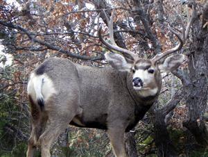 mule-dee-buck
