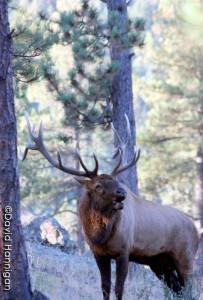 bull-elk