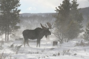 A moose in the winter.